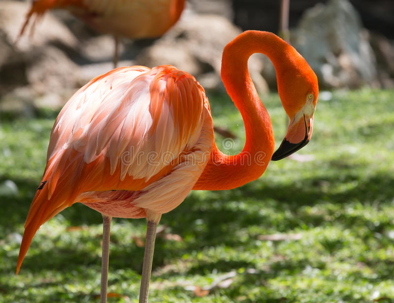 The Reticent Flamingo. This American Flamingo is resting at the Homosassa Springs State Wildlife Park, Florida. The park is a beautiful natural haven for stock photo