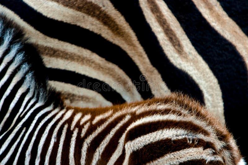 Reticoli della zebra immagine stock