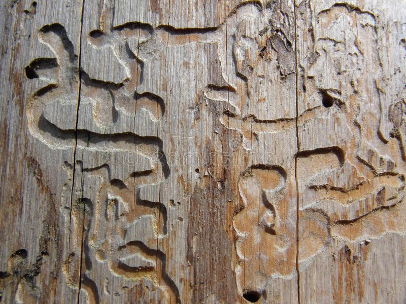 Reticolo di legno del burrow della vite senza fine immagine stock