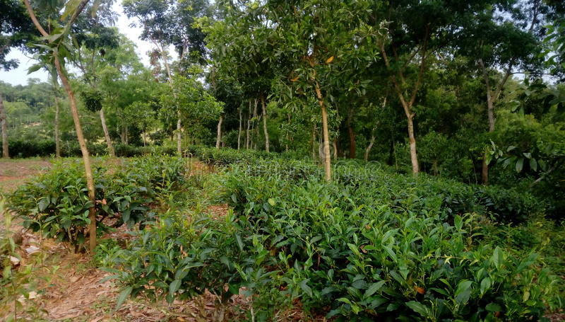 Reticolo verde del giardino del foglio (mare immagini stock