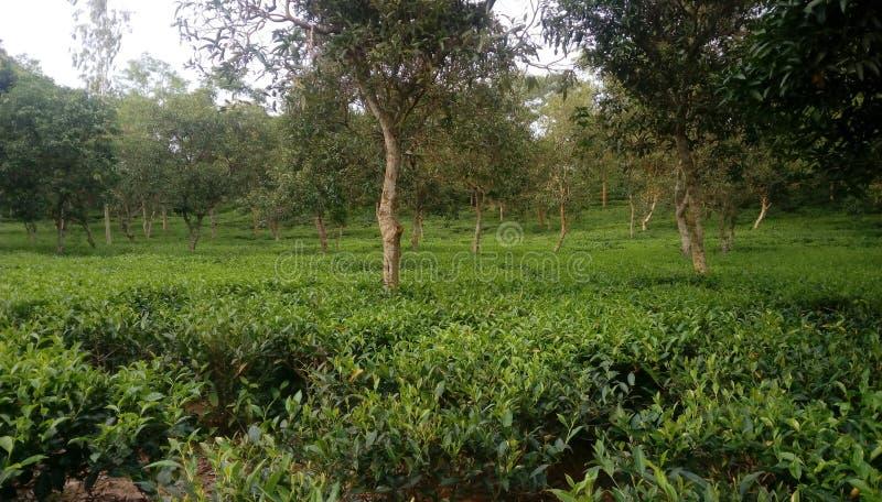 Reticolo verde del giardino del foglio (mare fotografie stock