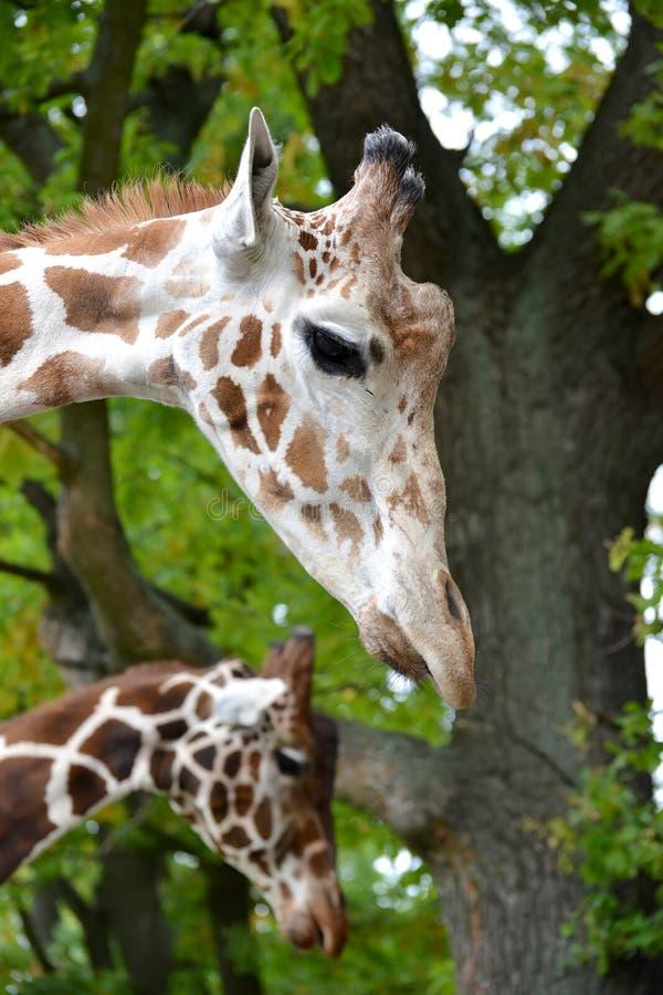 Reticulata Linnaeus, prtrait för två camelopardalis för ingreppsgiraffGiraffa i en profil arkivbild