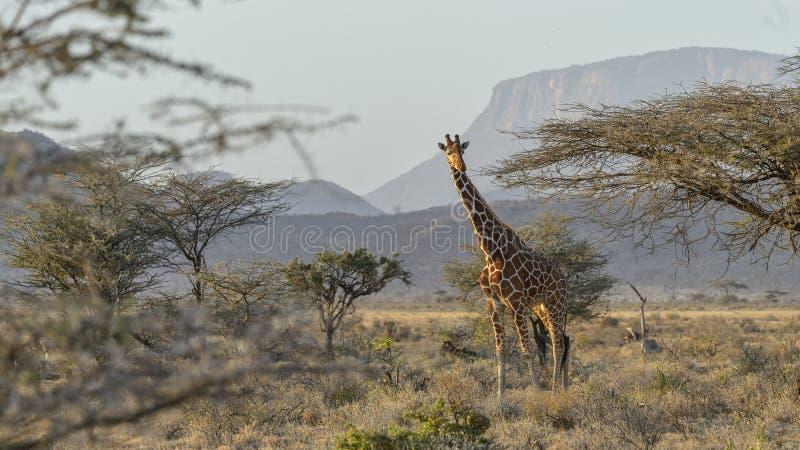 Reticulata met een netvormig patroon van girafgiraffa stock afbeeldingen