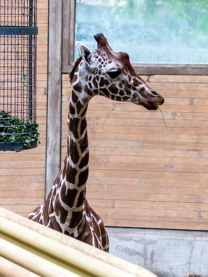 Reticulata réticulé de camelopardalis de Giraffa de girafe, également connu sous le nom de girafe somalienne regardant vers la dr images stock