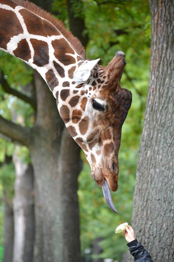 Reticulataen Linnaeus för camelopardalis för giraffingreppsgiraffaen tar ett foder från en hand för barn` s royaltyfria foton
