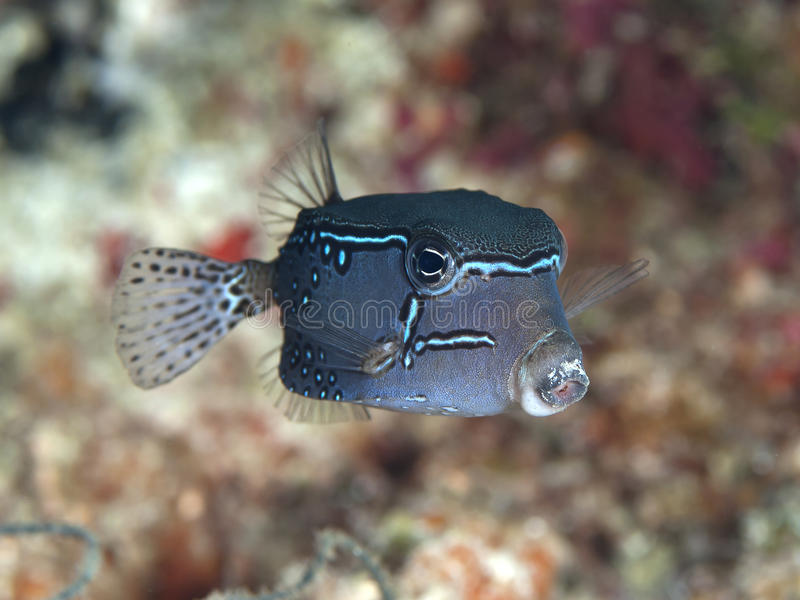 Reticulate boxfish royalty free stock photo