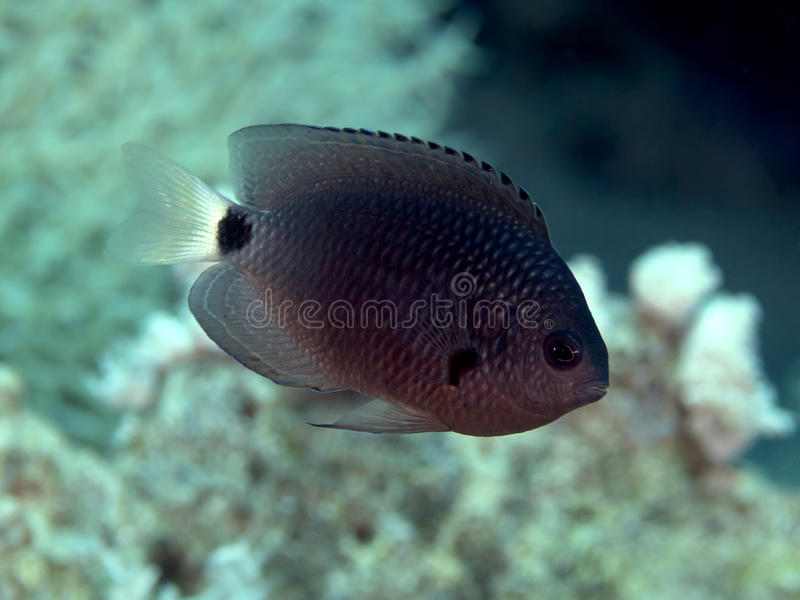 Reticulated damsel. In red sea stock photography