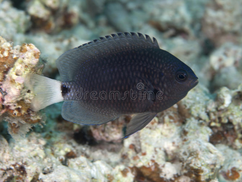 Reticulated damsel. In Red sea, Egypt, Hurghada stock image