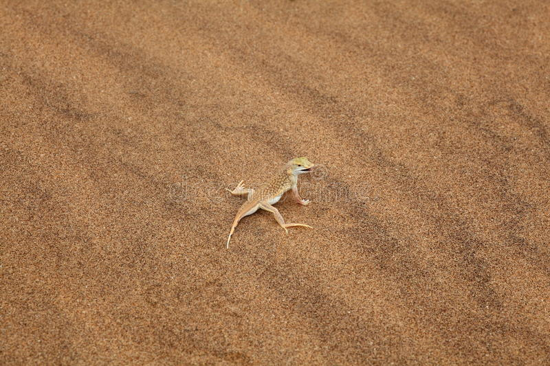 Reticulated Desert Lizard royalty free stock photography