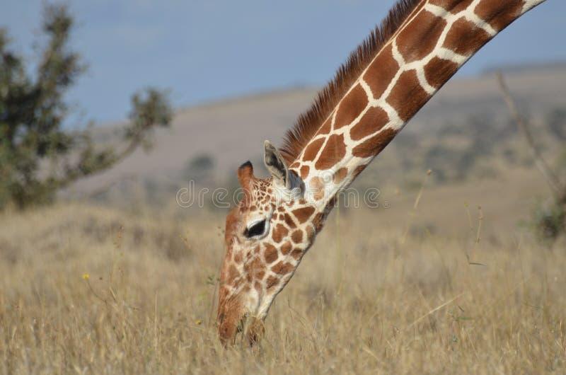 reticulated giraff arkivbilder