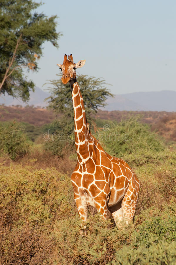 Reticulated Giraffe. From Samburu National Park, in Kenya royalty free stock photography