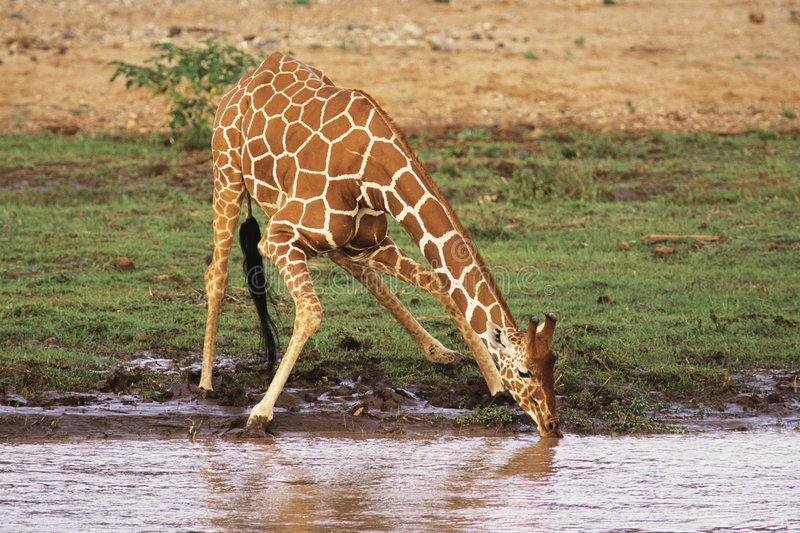 Reticulated Giraffe. (Giraffa camelopardalis) drinking water along river bank. Samburu National Reserve Kenya, Africa stock photography