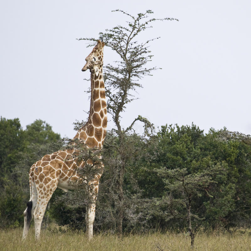 Reticulated Giraffe. Or Somali Giraffe, Republic of Kenya, East Africa royalty free stock image