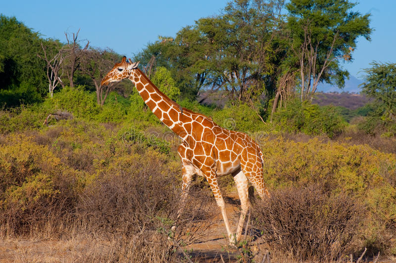 Reticulated Giraffe. From Samburu National Park, in Kenya stock images