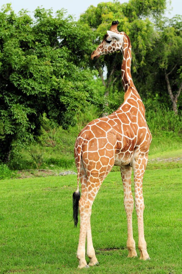 Reticulated Giraffe. Walking on the ground of a South Florida zoo stock image
