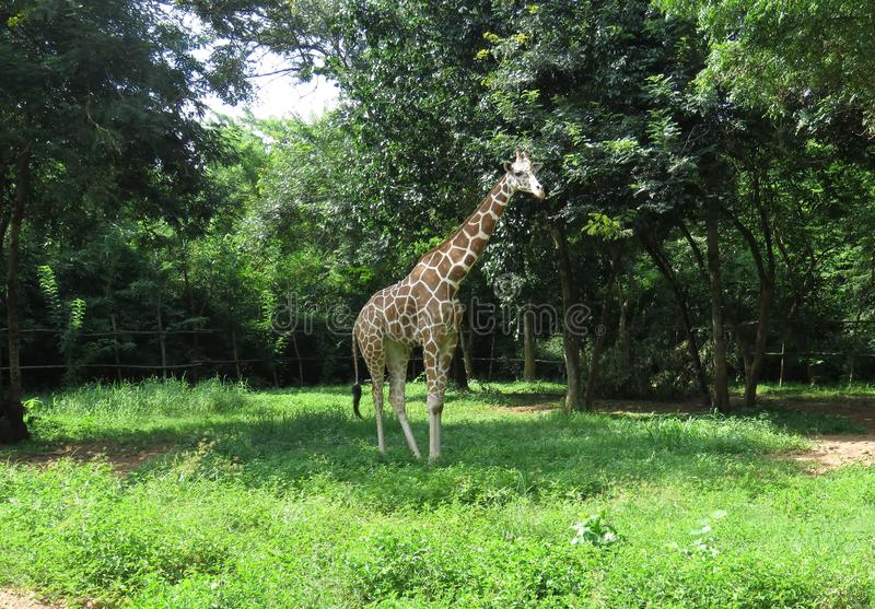 The reticulated giraffe stock image