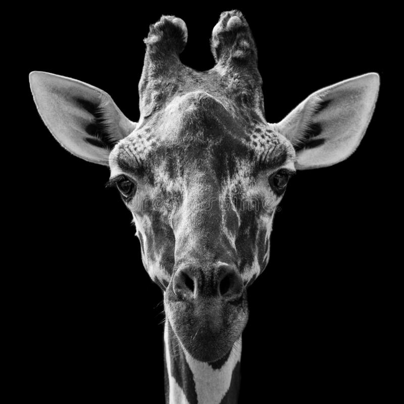 Reticulated Giraffe. Close Up Profile Portrait of a Reticulated Giraffe Against a Black Background stock photo