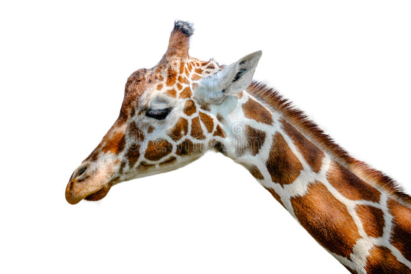 Reticulated Giraffe. A head shot of a reticulated Giraffe stock photography