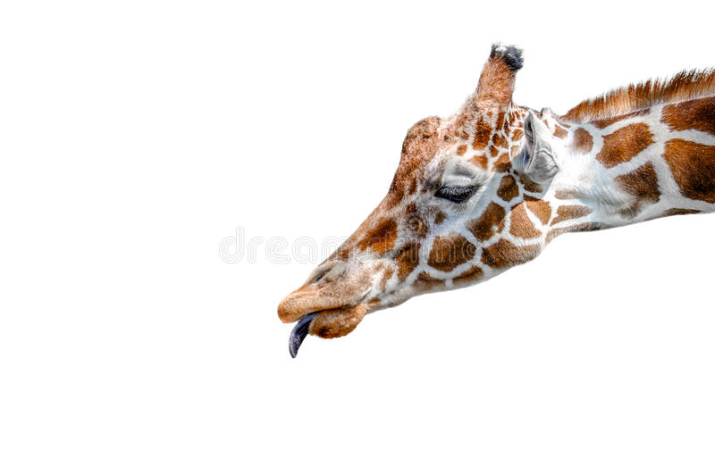 Reticulated Giraffe. A head shot of a reticulated Giraffe royalty free stock photos