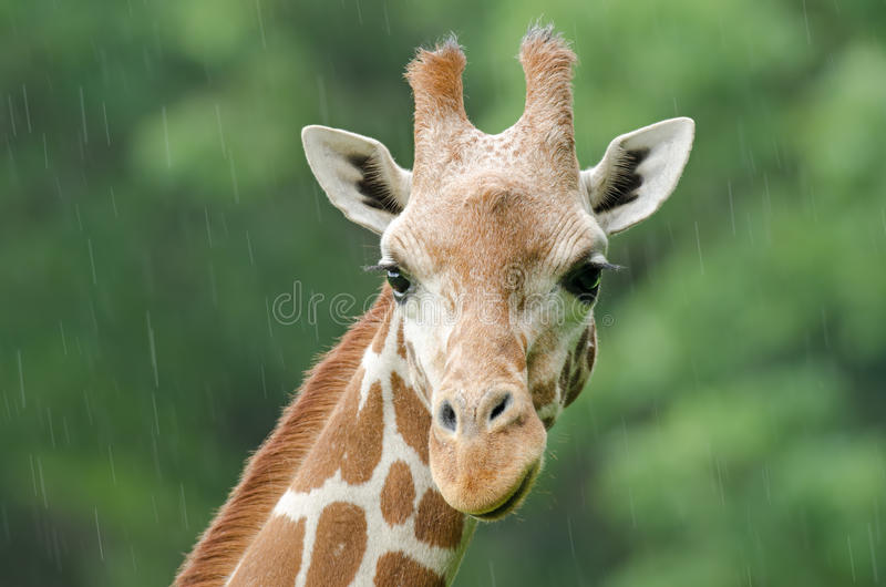 Reticulated Giraffe Portrait. Close-up of the face of a reticulated giraffe in the rain royalty free stock photography