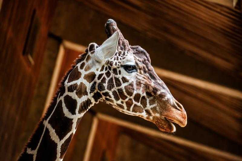 The Reticulated giraffe. Portrait of Reticulated giraffe, also known as the Somali giraffe stock photography