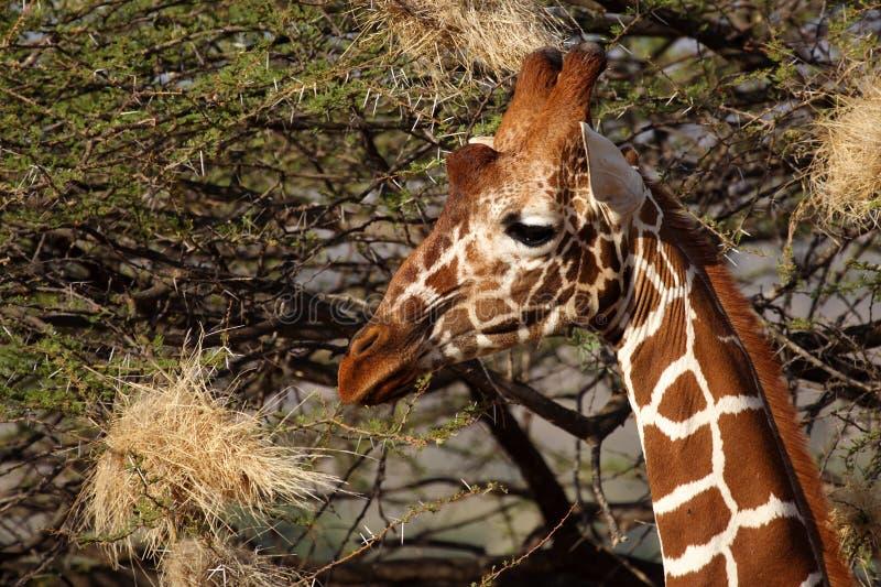 Reticulated giraffe, Samburu, Kenya