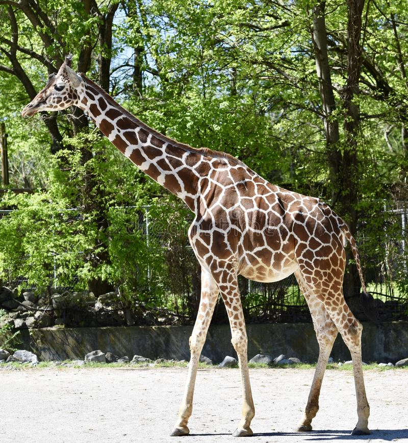 Reticulated Giraffe. This is a Spring picture of a Reticulated Giraffe at the Memphis Zoo located in Memphis, Tennessee in Shelby County. This picture was taken stock photography