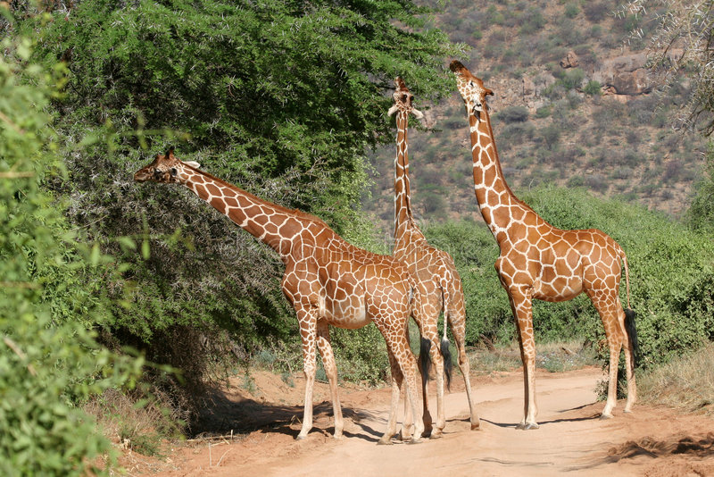 Reticulated Giraffes. Three reticulated giraffes stretching their necks to feed on acacia tree on roadside in Samburu Game Reserve, Kenya royalty free stock photo