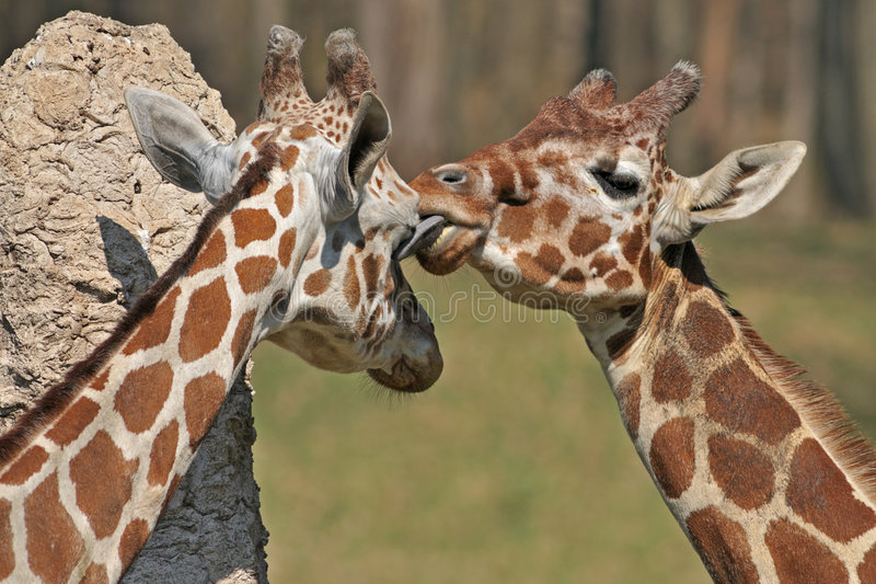 Reticulated Giraffes. Captive reticulated giraffes sharing an intimate moment as one giraffe licks the closed eye of the other stock image