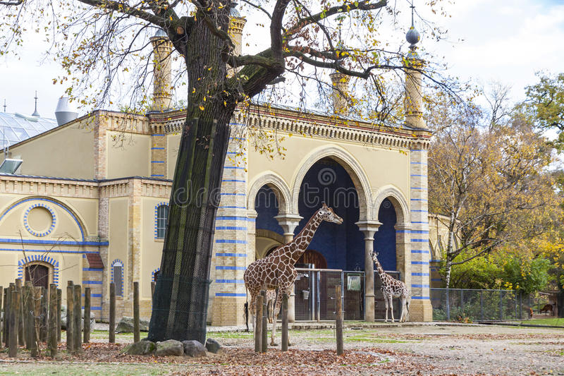 Reticulated giraffes (Giraffa reticulata) in the Berlin Zoo. BERLIN, GERMANY - NOVEMBER 9, 2013: Family of Reticulated giraffes (also known as the Somali giraffe royalty free stock images