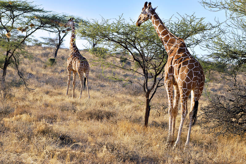 Reticulated Giraffes, Kenya, Africa. Reticulated Giraffes eating acacia tree leaves in Samburu National Park, Kenya royalty free stock photos