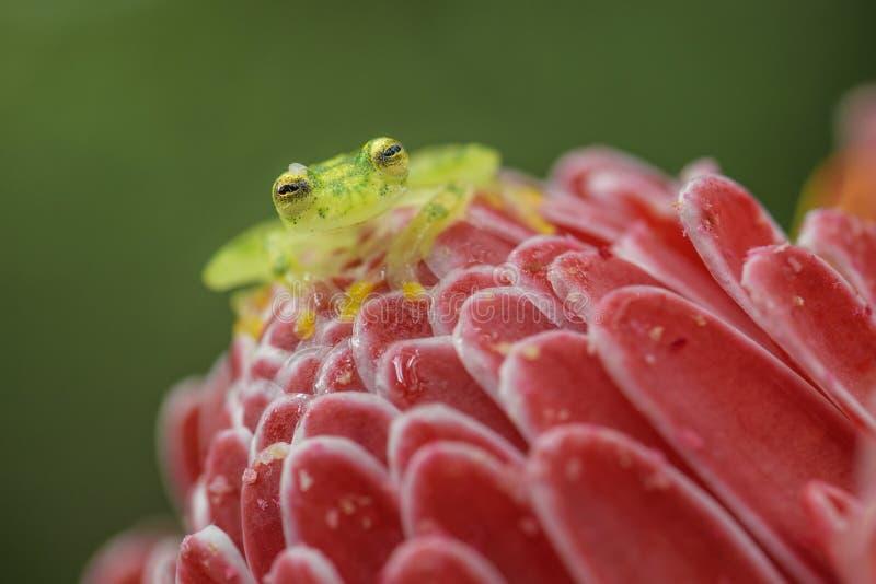 Reticulated Glass Frog - Hyalinobatrachium valerioi royalty free stock photos
