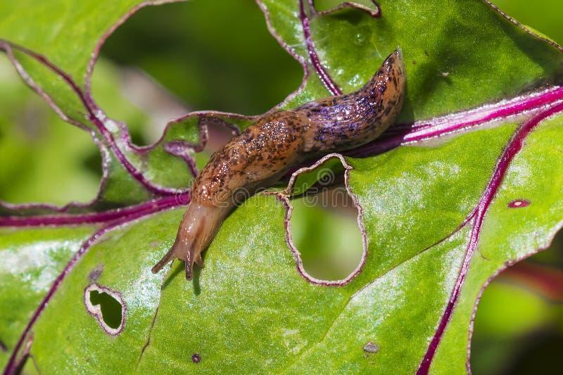 Reticulated kula & x28; Deroceras sturangi, Deroceras agreste, Deroce arkivfoton