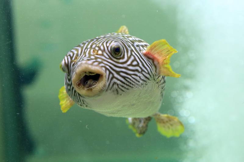Reticulated pufferfish. Arothron reticularis in Japan stock photography
