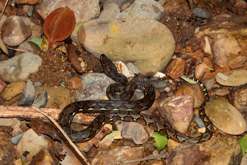 Reticulated python στον ποταμό στοκ φωτογραφία με δικαίωμα ελεύθερης χρήσης
