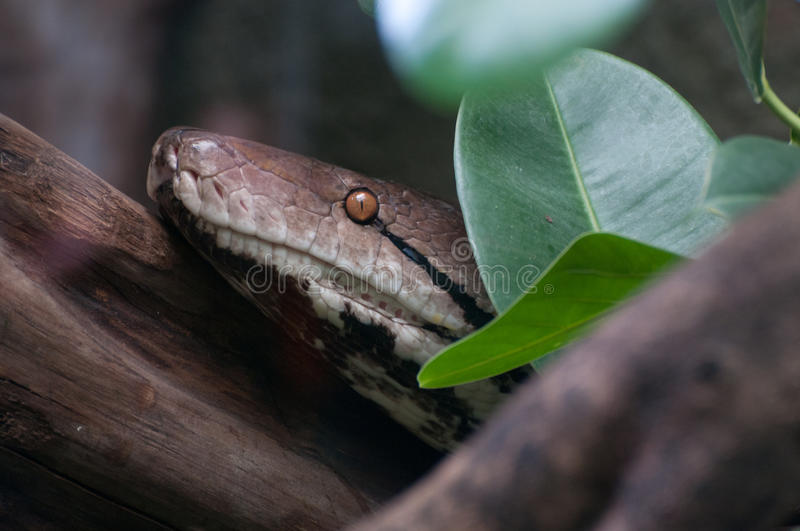 Reticulated Python. A close-up of a Reticulated Python stock images