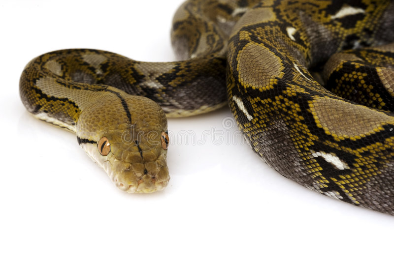 Reticulated Python. (Python reticulatus) on white background stock photo