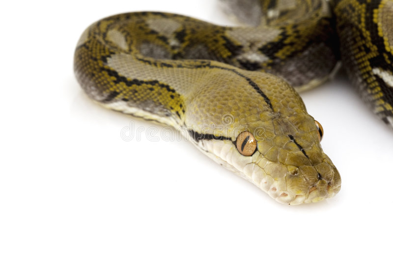 Reticulated Python. (Python reticulatus) on white background stock images