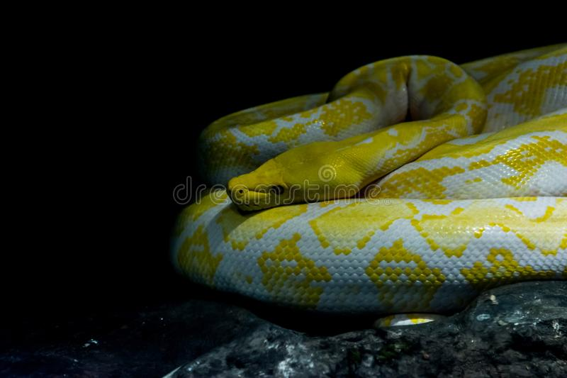Reticulated Python Albino. In the jungle on background and copy space stock photography