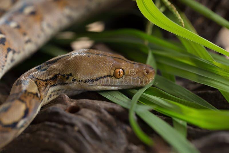 Reticulated python, Boa φίδι σφιγκτήρων στον κλάδο δέντρων στοκ εικόνα με δικαίωμα ελεύθερης χρήσης
