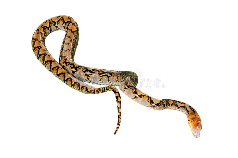 Reticulated Python isolated. Reticulated Python snake Pythonidae Reticulatus, isolated on white background. copy space stock photos