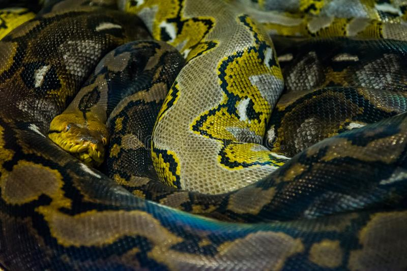 Reticulated Python in the jungle. Highly dangerous reptiles royalty free stock photography