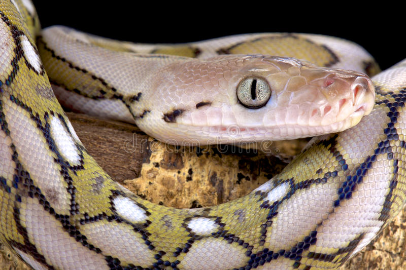 Reticulated python, Malayopython reticulatus. The Reticulated python, Malayopython reticulatus, is the longest snake species in the world. They are found in royalty free stock images