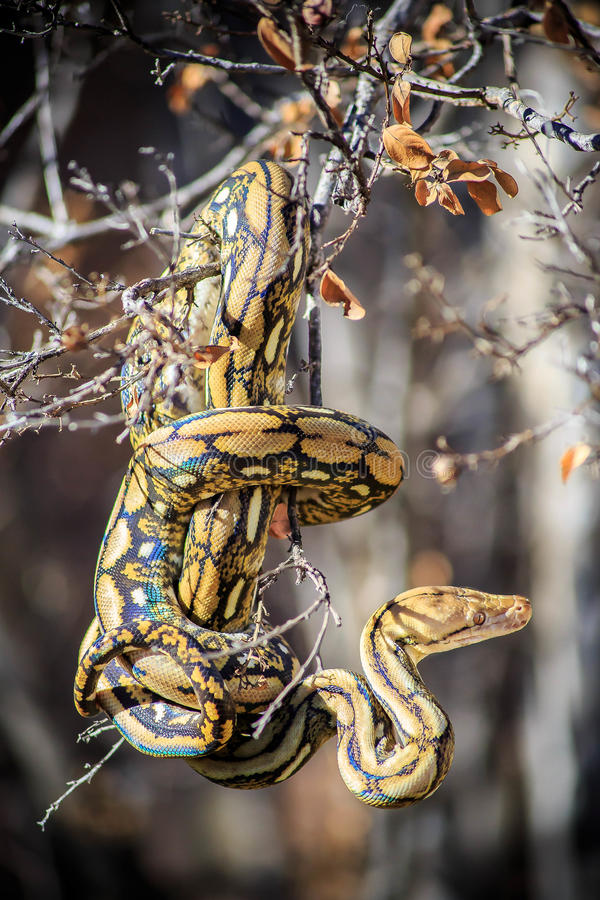 Reticulated Python in Tree. A young Tiger-phase Reticulated Python (Python reticulatus) in a tree royalty free stock photography