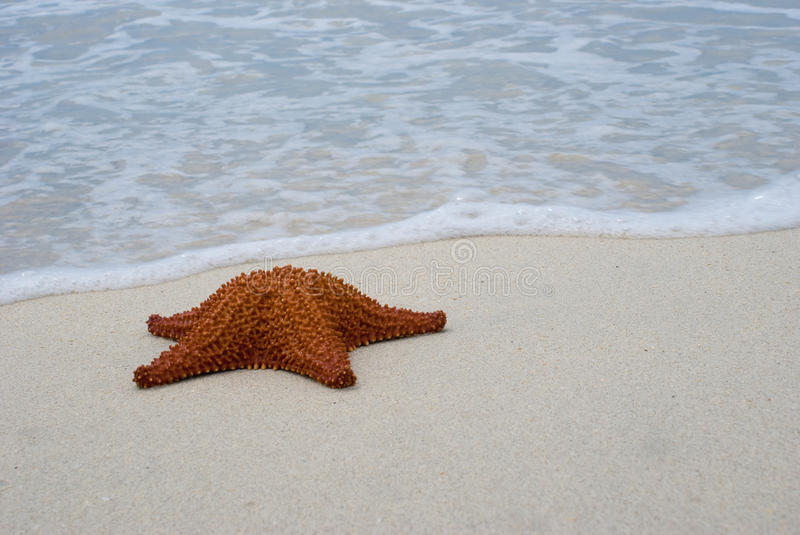 Reticulated Seastar (Starfish) on beach. With wave approaching it. Oreaster reticulatus is common Caribbean sea star (starfish) that eats sponges. Photographed royalty free stock photos