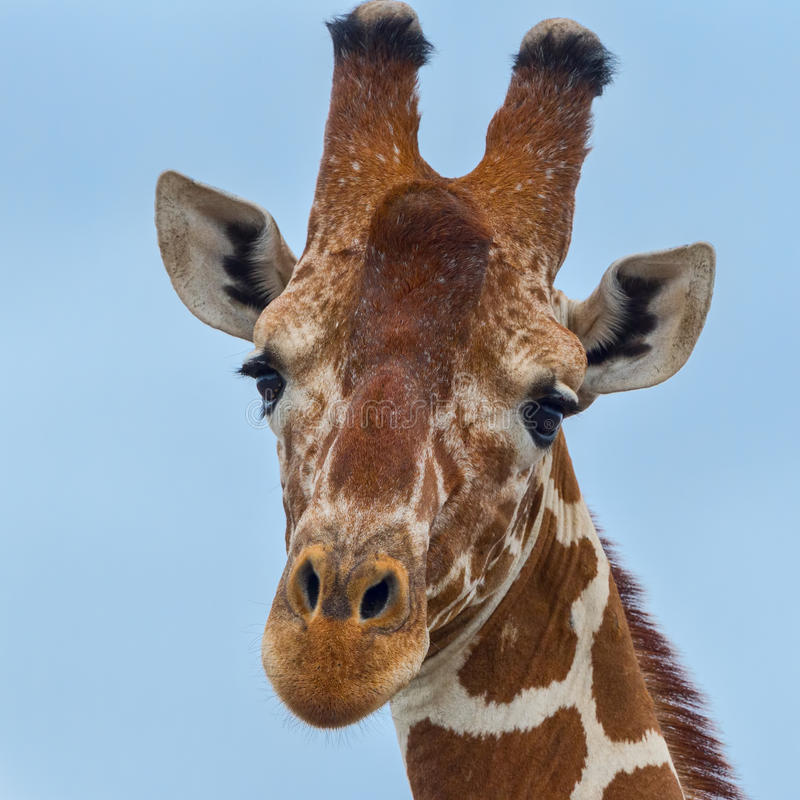 Reticulated or Somali Giraffe Head Portrait. A head portrait of a Somali Giraffe aka Reticulated Giraffe. Its bony horns are worn at the tips, both ears are royalty free stock images