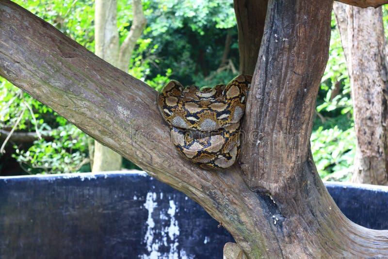 Reticulatus de python photographie stock