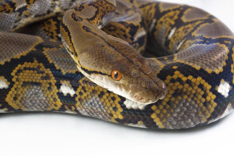 Reticulatus de python de python r?ticul? image stock