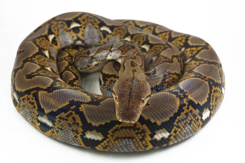 Reticulatus de python de python r?ticul? images libres de droits
