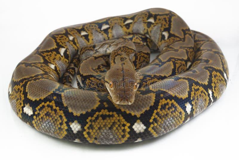 Reticulatus de python de python r?ticul? photographie stock